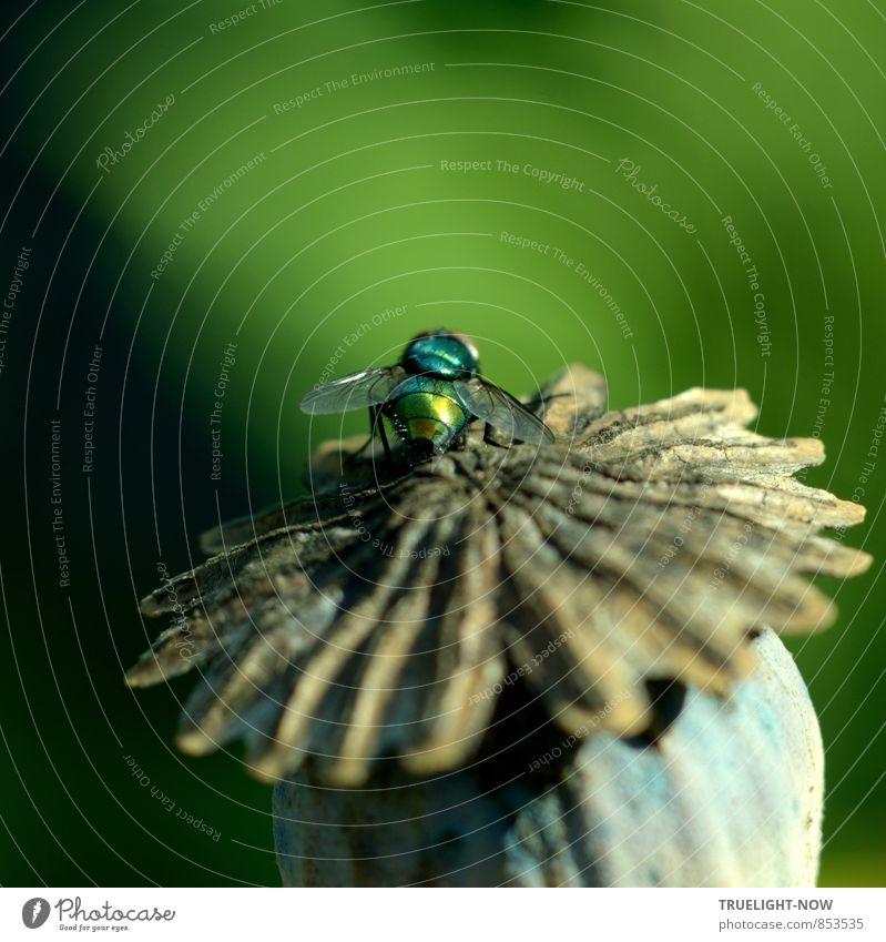 Glänzender Gast 3... Natur blau Pflanze schön grün Sommer Blume Tier Wärme grau Garten träumen glänzend leuchten gold Fliege