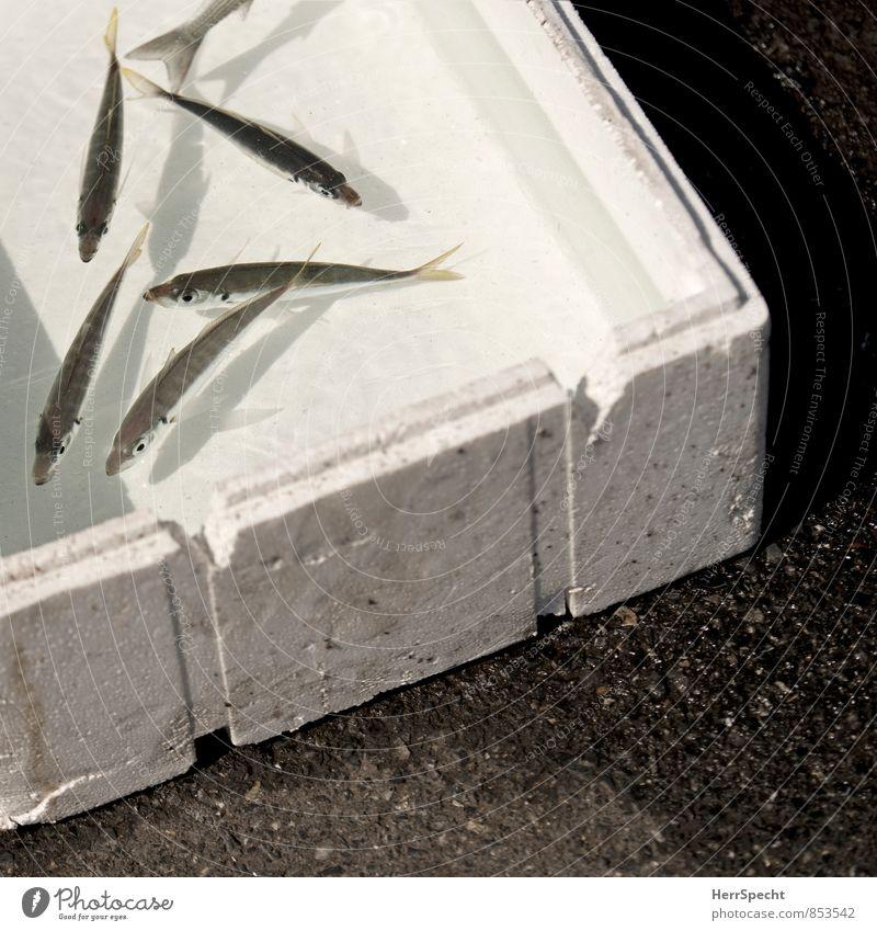 Köder oder Fang? Schwimmen & Baden Wildtier Tiergruppe Fisch Angeln gefangen Kiste Fischereiwirtschaft Schwarm Aquarium hilflos Istanbul Styropor Köderfisch Galata-Brücke