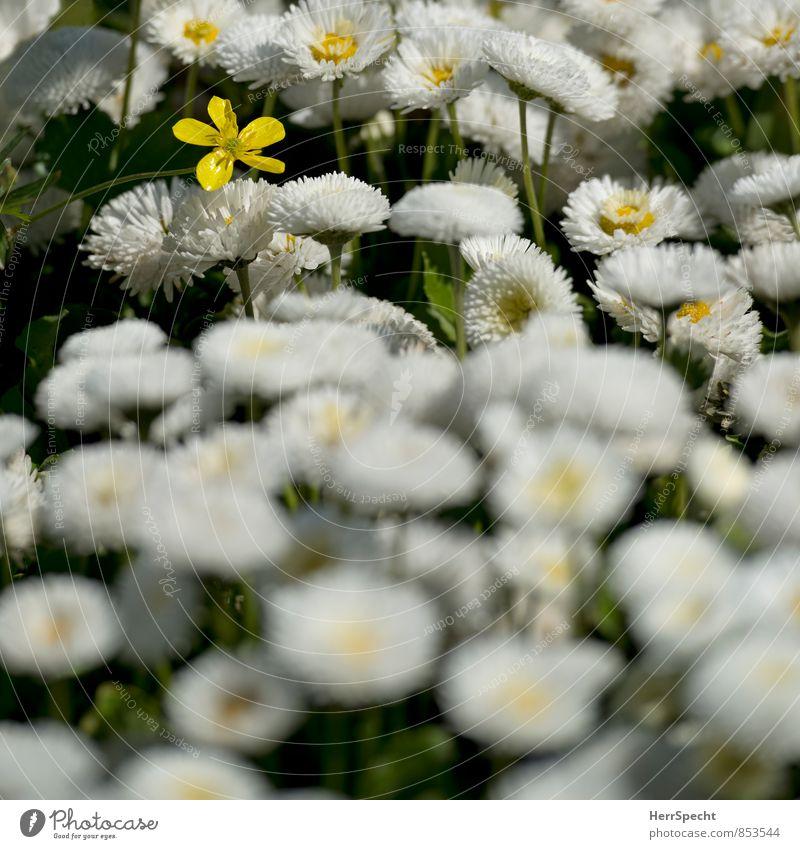 Monokultur (nicht ganz) Umwelt Natur Pflanze Frühling Sommer Blume Blüte Garten Park Blühend Duft gelb weiß außergewöhnlich gleich Verschiedenheit einzeln