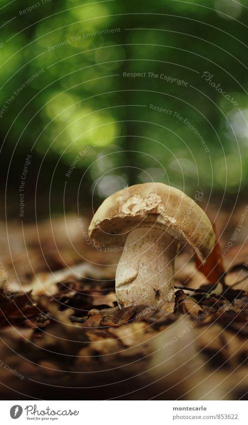 sonntagsfund Lebensmittel Steinpilze Bioprodukte Umwelt Natur Sommer Herbst Pflanze Blatt Wildpflanze Pilzhut Wald Waldboden dick Duft authentisch einfach groß