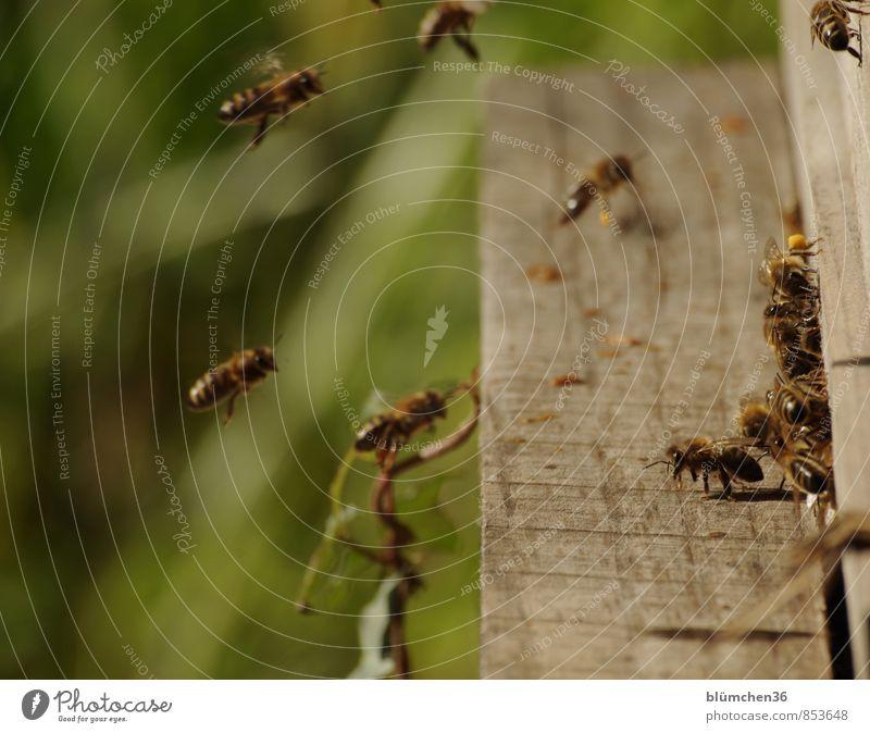 Am Bienenstock Tier Nutztier Wildtier Honigbiene Insekt Schwarm fliegen tragen ästhetisch klein schön Arbeit & Erwerbstätigkeit Tierliebe Tierlaute