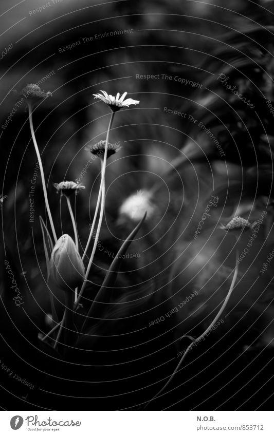 Stille Natur Pflanze Frühling Sommer Blume Tulpe Blüte Blühend genießen ästhetisch dunkel elegant geduldig ruhig entdecken erleben Trauer Einsamkeit