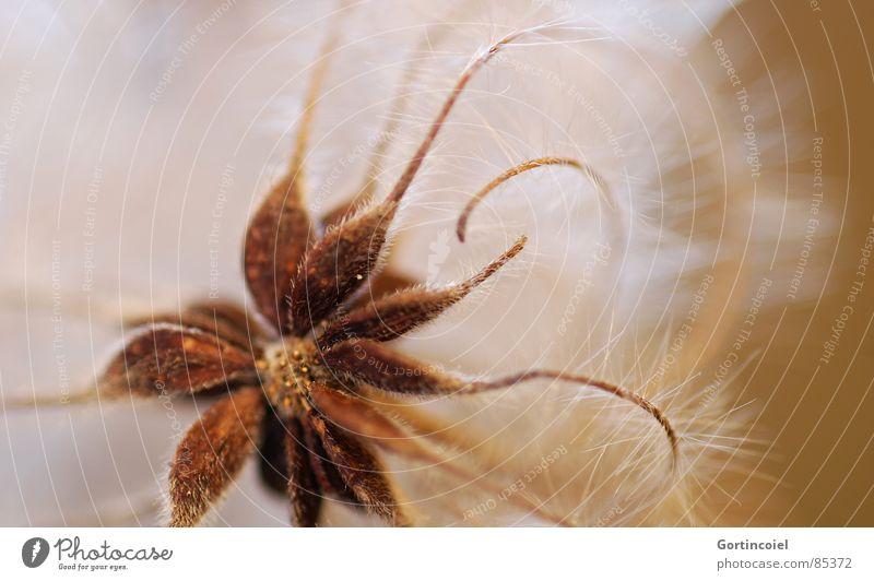 Die Wuschelblüte I Blume Pflanze Blüte braun Stern (Symbol) weich zart Samen sanft Blütenknospen fein beige Ranke verblüht Faser filigran