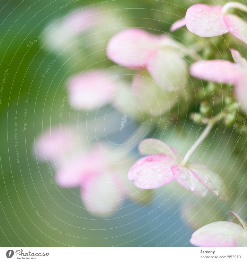 Zart Natur Pflanze Wassertropfen Frühling Sommer Blüte Blühend Duft blau grün rosa weiß Frühlingsgefühle ruhig zart Farbfoto Makroaufnahme Menschenleer Tag
