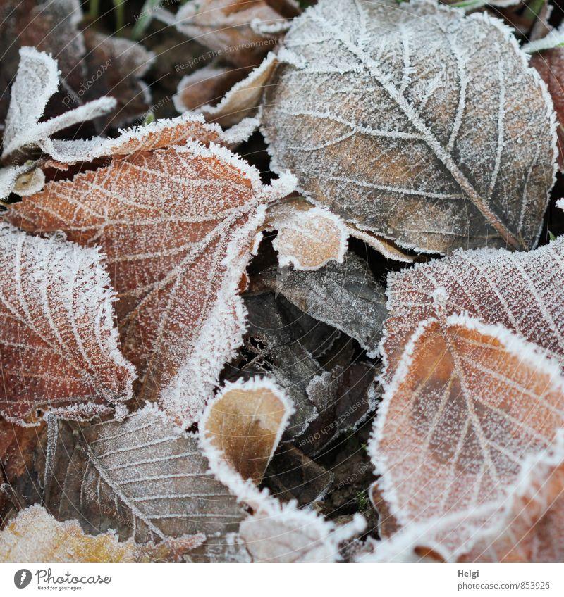 kalt... Umwelt Natur Pflanze Winter Eis Frost Blatt Park frieren liegen dehydrieren authentisch außergewöhnlich natürlich braun weiß Stimmung ruhig ästhetisch
