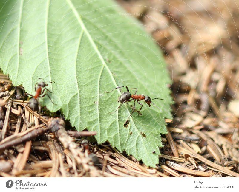 winzige Waldbewohner... Umwelt Natur Pflanze Tier Sommer Schönes Wetter Blatt Tannennadel Wildtier Ameise Waldameise 2 Arbeit & Erwerbstätigkeit Bewegung gehen