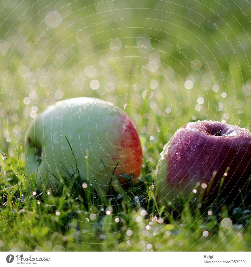 Fallobst... Lebensmittel Frucht Apfel Bioprodukte Vegetarische Ernährung Umwelt Natur Pflanze Wassertropfen Herbst Schönes Wetter Gras Grünpflanze Garten Wiese