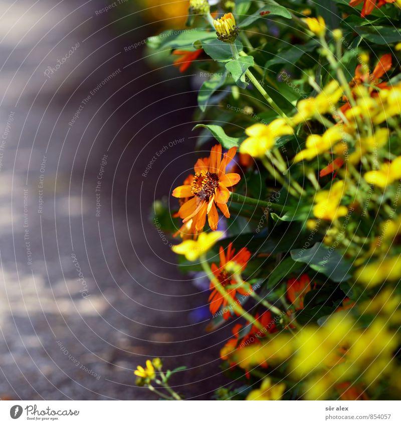 Schattenspender Umwelt Pflanze Sommer Blume Garten Park Duft schön Kitsch Lebensfreude Frühlingsgefühle Mitgefühl Blumenbeet Wege & Pfade Gartenarbeit Floristik