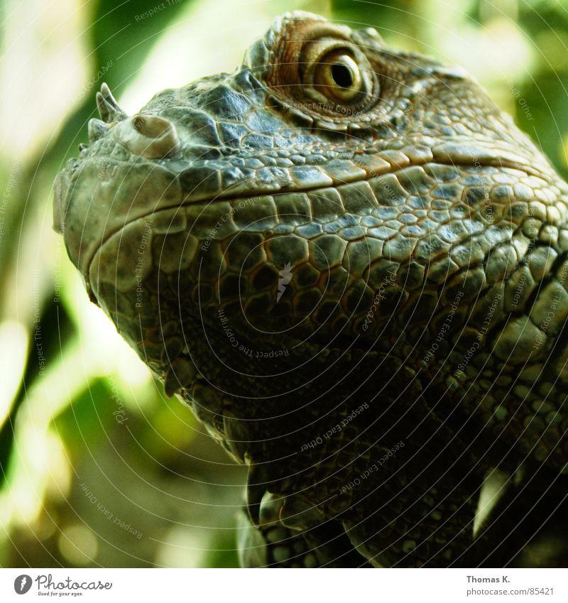 Godzilla Tier Echsen Leguane Echte Eidechsen grün Reptil Nasenloch Nüstern Zoo Gras Zoologie Schatten verdunkeln Tiergarten Geruch Maul Scheune Horn