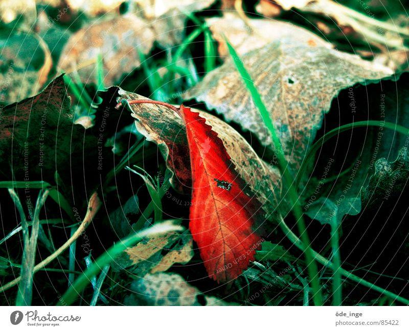 individualist Natur schön grün Pflanze rot Blatt Einsamkeit Herbst Wiese Gras grau Umwelt Rasen liegen einzigartig Stengel