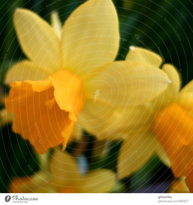 narzisschen Narzissen Gelbe Narzisse Blume Frühling springen Jahreszeiten gelb Beet Leichtigkeit Blütenkelch Unschärfe Fee flower orange Farbe Garten