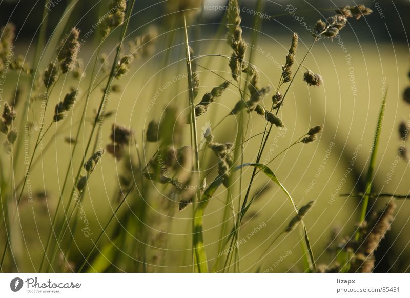 Korn Feld grün Sommer Gute Laune Gras Freude Umwelt unreif Abend Wissenschaften Getreide Natur Ernte Landschaft sortieren Perspektive sonnennähe