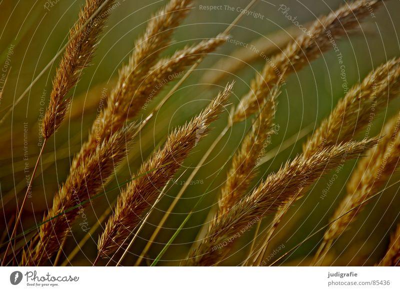 Gras gelb Stengel Halm Ähren glänzend schön weich Rauschen Wiese zart beweglich sensibel federartig Sommer Vergänglichkeit gold orange Wind Pollen rispe rispen