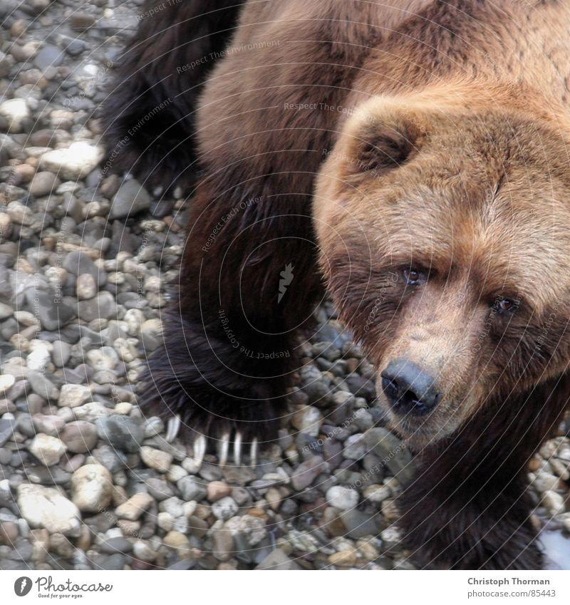 Ich will doch nur spielen Natur Tier Auge Umwelt Stein braun Kraft gefährlich Kraft Macht bedrohlich weich Fell fantastisch stark Zoo