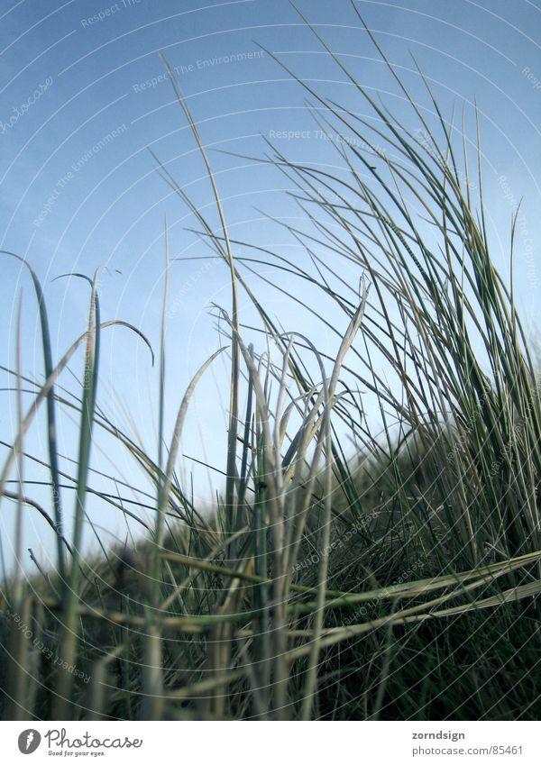 Blu Gras Halm Stroh Wiese Borkum Strand Küste Wind Stranddüne Nordsee