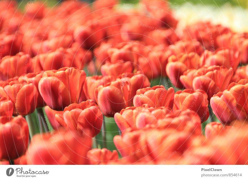 Tulpen Lifestyle Stil schön Freizeit & Hobby Garten Natur Pflanze Tier Sommer Blume Blatt Blüte Nutzpflanze Park Blühend träumen Duft Glück orange rot Gefühle