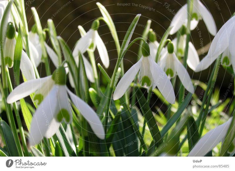 Kling, Glöckchen, klingelingeling mehrere Schneeglöckchen grün Gegenlicht durchscheinend Frühling Frühblüher lichtvoll weiß Makroaufnahme Nahaufnahme viele