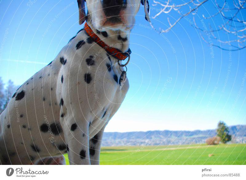 Punkte-Frühling Dalmatiner grün Horizont Hund Spaziergang Wiese Grünfläche Löwenzahn Aussicht Gras Säugetier dog chien Sonne enzo Gassi gehen Perspektive