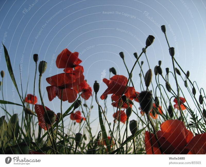 Mohnzauber Himmel rot Sommer Blüte Stengel Mohn Himmelskörper & Weltall Himmelszelt Mohnfeld Sternenzelt