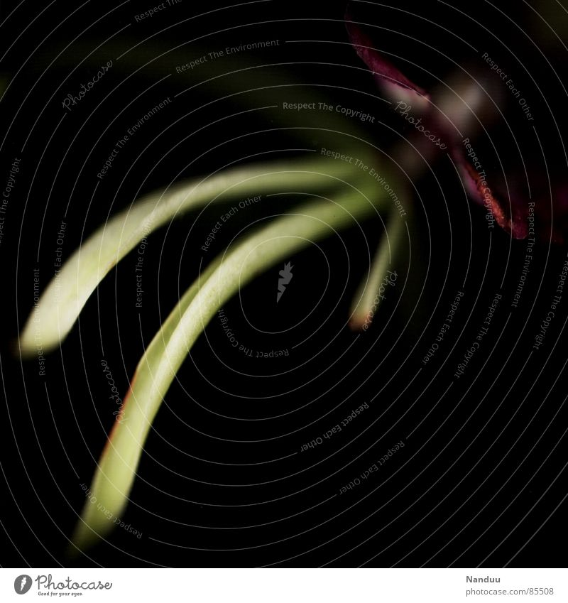 Fintentisch oder Encyclia cochleata grün Blume schwarz gelb Blüte außergewöhnlich Vergänglichkeit nah obskur exotisch seltsam Orchidee filigran purpur