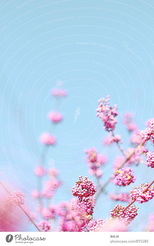 Beerenstrauch Himmel Natur Pflanze Sommer Baum Erholung ruhig Frühling Stil Glück Feste & Feiern Lifestyle Design Dekoration & Verzierung Geburtstag Sträucher