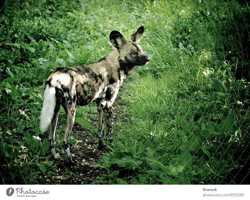 hyäne Umwelt Natur Gras Sträucher Grünpflanze Park Wiese Wald Urwald Tier Wildtier Fell Zoo Hyäne 1 Blick stehen sportlich grau grün schwarz Farbfoto