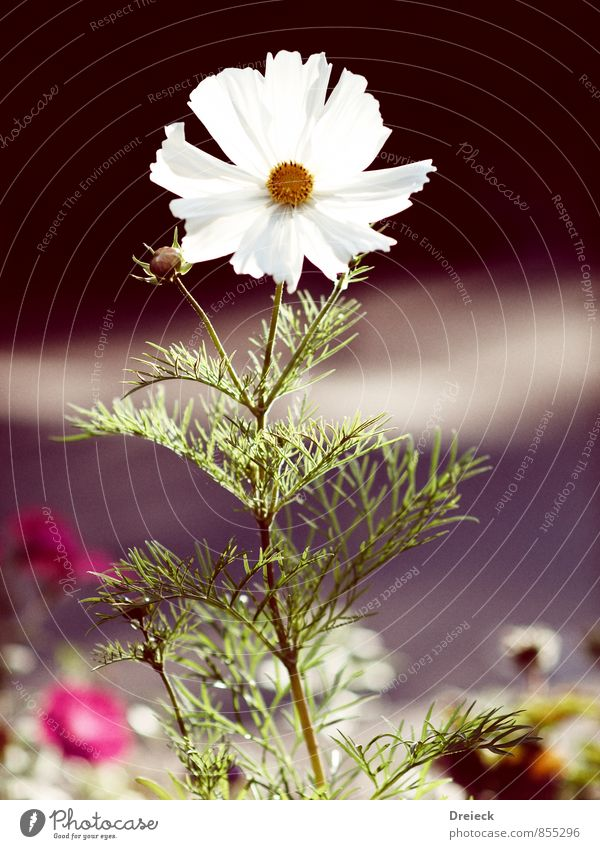 Weisskopf Natur Pflanze Frühling Sommer Blume Blatt Blüte Grünpflanze Duft gelb gold grün orange weiß Farbfoto mehrfarbig Außenaufnahme Schwache Tiefenschärfe