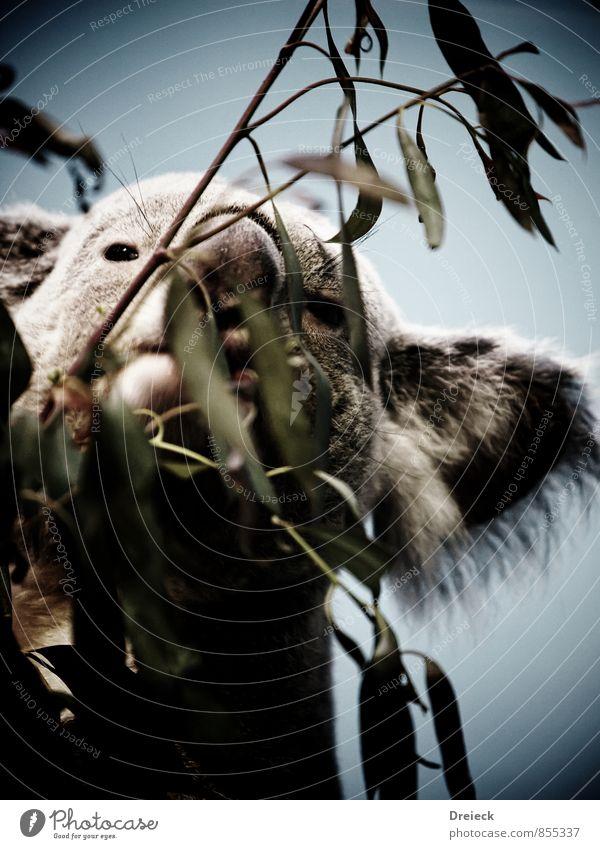 Koala blau Pflanze grün Baum Blatt Tier Wald Essen grau Park Wildtier Fell Duft Tiergesicht exotisch Urwald