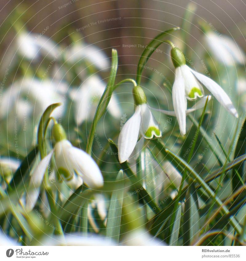 Frühling 1 Schlosspark Schneeglöckchen grün Blume aufwachen Blüte Halm Gras Frühlingsgefühle Blühend Wiese Garten schön winterende Natur Pflanze Freude Aktien