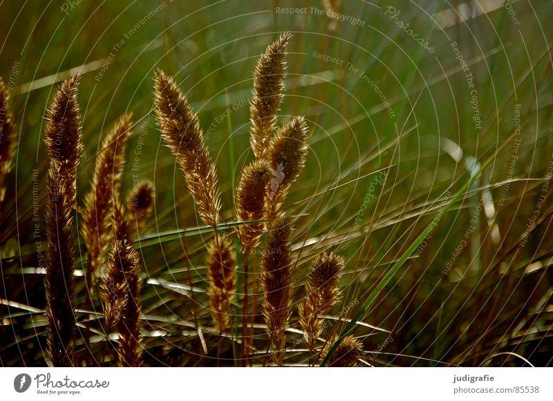 Gras schön Sommer gelb Wiese Gras orange Wind gold glänzend Vergänglichkeit weich zart Weide Stengel Halm sanft