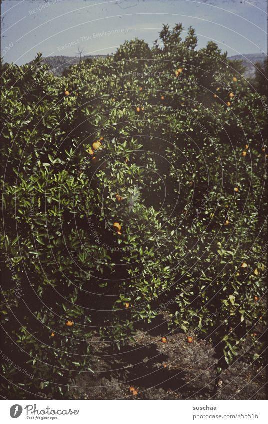 orangenhain Umwelt Natur Pflanze Himmel Sommer Schönes Wetter Baum alt Gartenbau Dia Orangenbaum Obstbaum Blatt Griechenland Urlaubsfoto Farbfoto