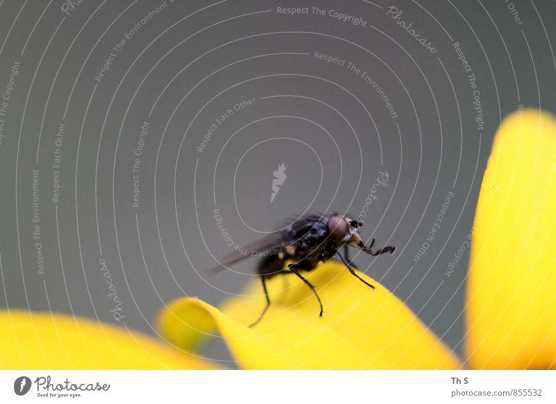 Fliege Natur Pflanze schön ruhig Tier schwarz gelb Blüte natürlich grau Freiheit elegant Idylle Zufriedenheit authentisch