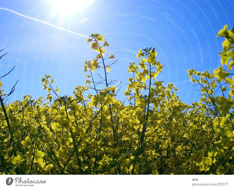 Blumen im Sonnenschein Feld Sommer Wiese Natur Himmel gelbe blätter