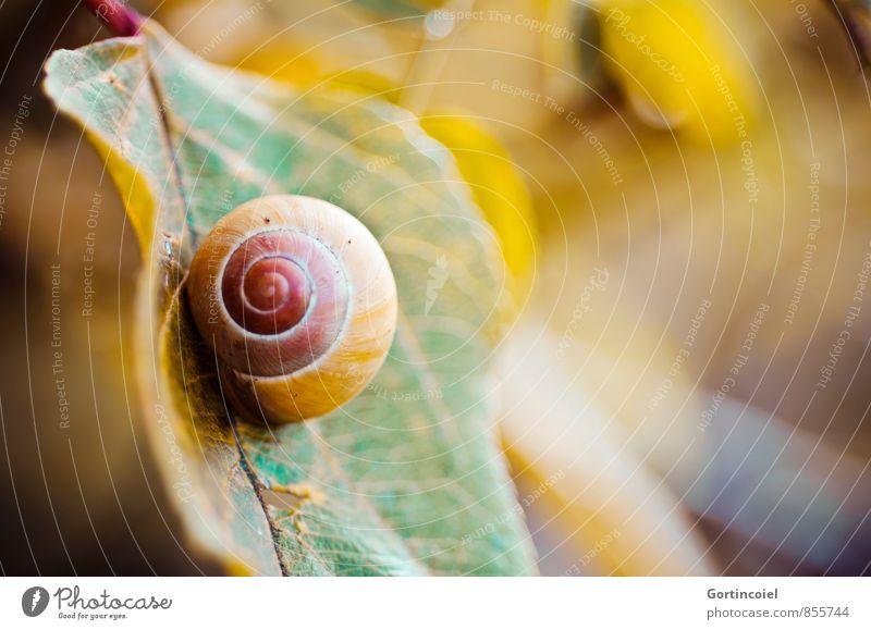 Schnecke Natur Pflanze grün rot Blatt Tier gelb Herbst braun Herbstlaub herbstlich Schneckenhaus
