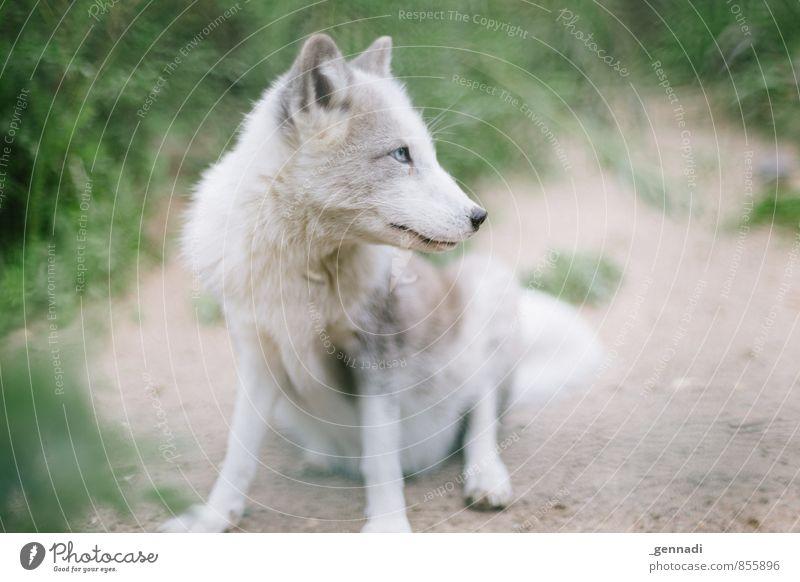 Schneefuchs Tier Wildtier Fuchs weiß Tierjunges Hund Baby rein unschuldig Zoo Farbfoto Menschenleer Textfreiraum links Textfreiraum rechts Tag Tierporträt