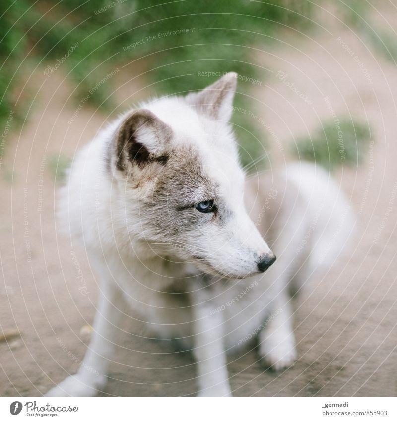 Ice Ice Hund blau schön weiß Tier Auge klein niedlich Ohr Fell Tierliebe Wolf Fuchs