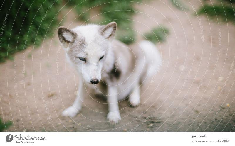 16 zu 9 Wildtier Fuchs Tier Tierjunges wild Ohr weich schön weiß Schnauze Zoo Farbfoto Textfreiraum links Textfreiraum rechts Tag Tierporträt