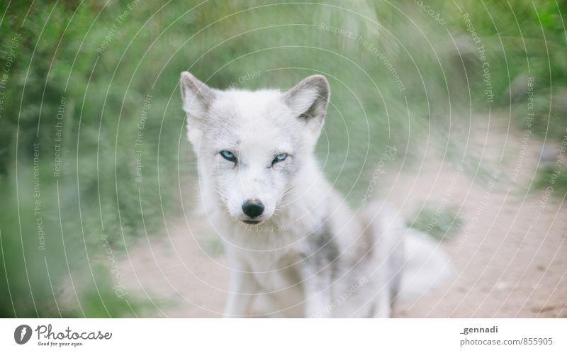 Ganz schön fuchsig der Kleine Tier Wildtier Hund Tiergesicht Fell Zoo Fuchs 1 Tierjunges süß Schneefuchs niedlich weich weiß Auge Pelztier Schutz Farbfoto