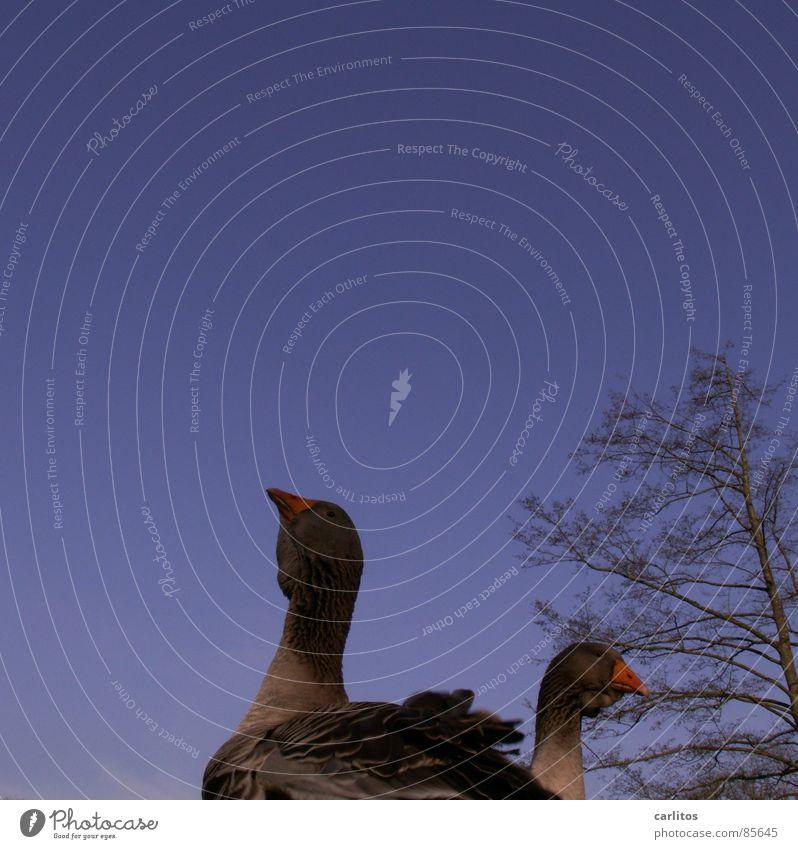 Hochnäsige Gans !!!!!!!! Natur Wiese Gras Frühling Vogel Ernährung Landwirtschaft Bauernhof Blauer Himmel Landleben Stall Gänsehaut Ranch Gänsebraten