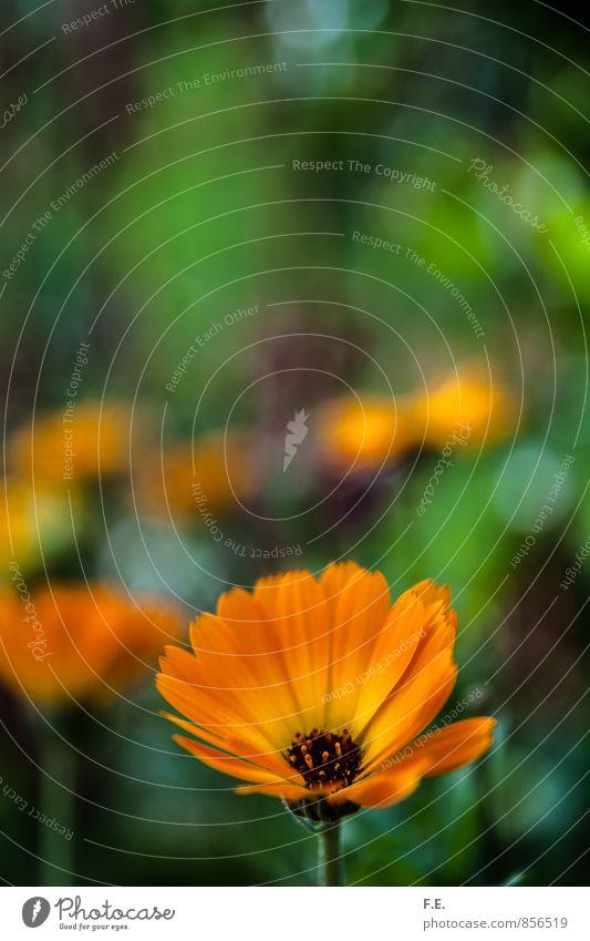 Orange Blume auf grünem Hintergrund Pflanze Sommer Blüte Gerbera Garten schön weich gelb orange Idylle Natur Farbfoto Außenaufnahme Nahaufnahme Menschenleer Tag