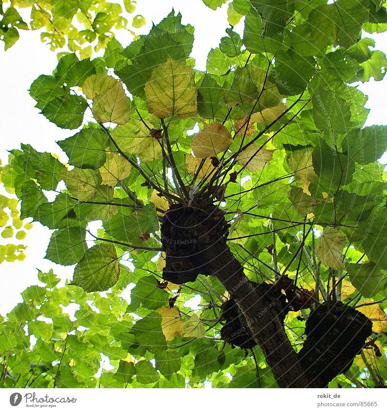 Saftiges Grün grün Sommer Blatt gelb oben Garten Park hoch geschlossen rund Dach Baumstamm Zweig Kuppeldach Platane Blätterdach