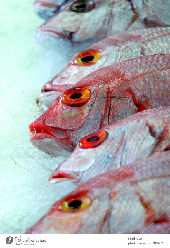 Pescado muerto Rotbarsch Fischgeschäft Markt frisch rot Schaufenster Fischmarkt Ernährung gefroren Atlantik Fischkopf Kieme Eis verkaufen Fischereiwirtschaft