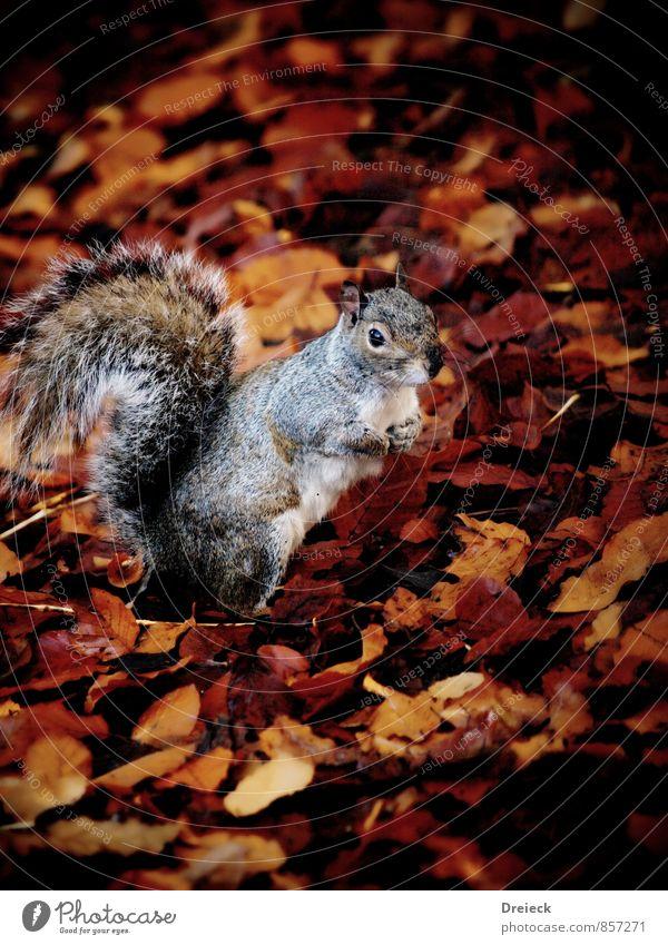 Eichhörnchen Umwelt Natur Herbst Blatt Park Wald Tier Wildtier Tiergesicht Fell 1 Blick stehen niedlich braun orange silber weiß Farbfoto Außenaufnahme Tag