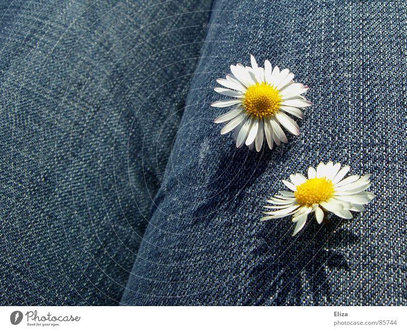 Zwei Gänseblümchen auf blauem Jeans Stoff Sommer Sonnenbad Dekoration & Verzierung Pflanze Frühling Schönes Wetter Blume Blüte Bekleidung Hose Jeanshose Blühend