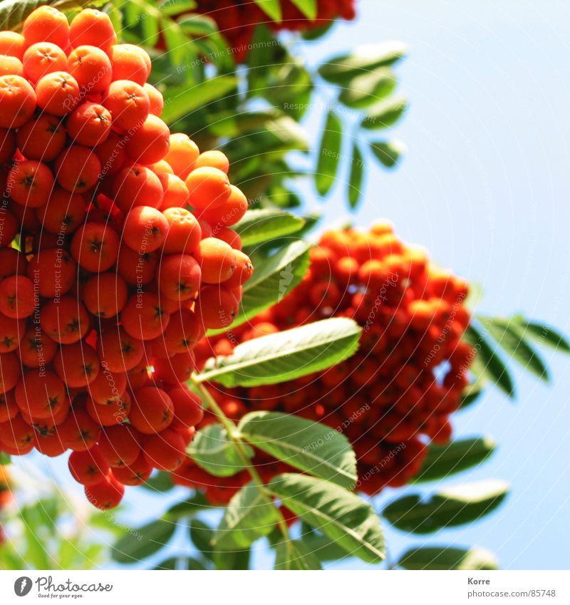 just rowans Natur schön Himmel Pflanze Sommer Frühling Garten Park orange Umwelt Frucht frisch Beeren saftig knallig Wolkenloser Himmel