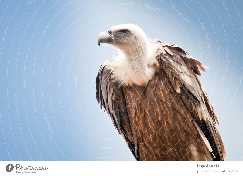 Keine Feier ohne Geier Umwelt Natur Tier Himmel Wildtier Taube Greifvogel Aasfresser 1 sitzen Stolz Symbole & Metaphern stark Kraft Israel Wildpark Farbfoto
