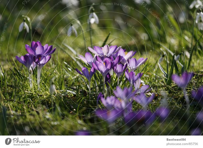 Krokusse und Schneeglöckchen Gras Wiese Frühling Blume Blüte grün Beet Blühend Blumenbeet Pollen in voller blüte Rasen voll aufgeblüht