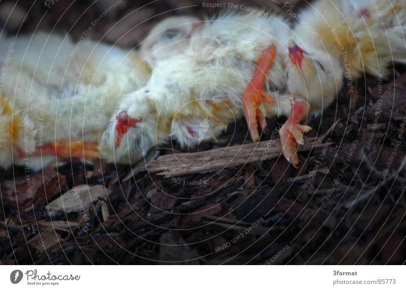 zoo_massaker Tod Vergänglichkeit Zoo böse Paradies tierisch Verschiedenheit Leiche Futter Mord Opfer Federvieh brutal Tierzucht Seuche Tiergarten