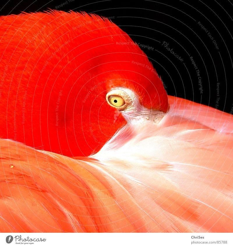 Flamingo in Orange Natur schön rot Tier Auge Vogel orange Feder Tiergesicht Zoo bizarr obskur Außerirdischer Pupille außerirdisch