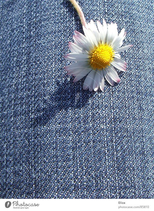 Ein Gänseblümchen auf Jeans im Sonnenschein im Sommer Blüte Frühling Blume Blühend Blütenblatt Pollen gelb Schatten frech Tanzen Jeansstoff Pflanze Spielen Kopf